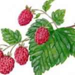 Myths and Tales About Pregnancy - Raspberries